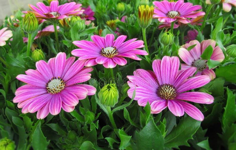 Pretty & Bright Pink African Daisy Flowers Blossom In Spring 2019. Pretty & Bright Pink African Daisy Flowers Blossom In royalty free stock photos