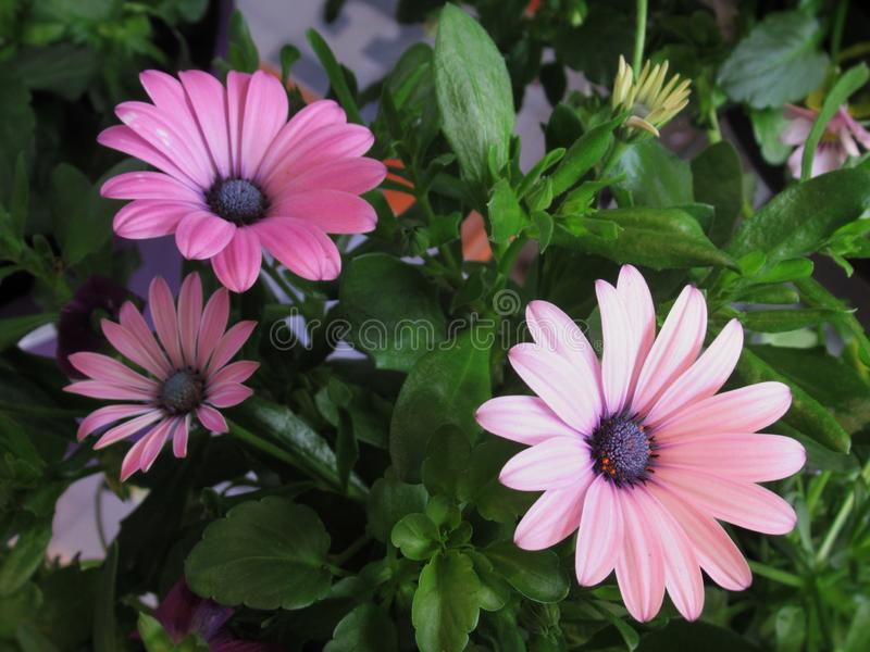 Pretty & Bright Pink Marguerite Daisy Flowers Blossom In Spring 2019. Pretty & Bright Pink Marguerite Daisy Flowers Blossom In Vancouver Garden In Spring 2019 royalty free stock images