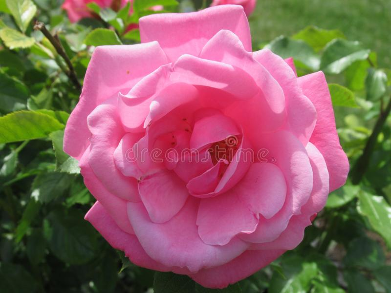 Pretty & Bright Pink Rose Flowers Blossom In Vancouver Park Garden In Spring 2019. Pretty & Bright Pink Rose Flowers Blossom In Vancouver Q.E. Park Garden In stock images