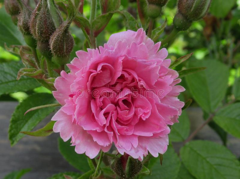 Pretty & Bright Pink Rose Flowers Blossom In Vancouver Park Garden In Spring 2019. Pretty & Bright Pink Rose Flowers Blossom In Vancouver Q.E. Park Garden In stock photo