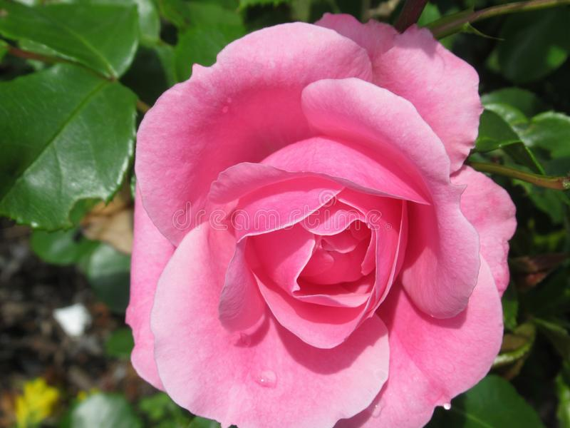 Pretty & Bright Pink Rose Flowers Blossom In Vancouver Park Garden In Spring 2019. Pretty & Bright Pink Rose Flowers Blossom In Vancouver Q.E. Park Garden In stock image