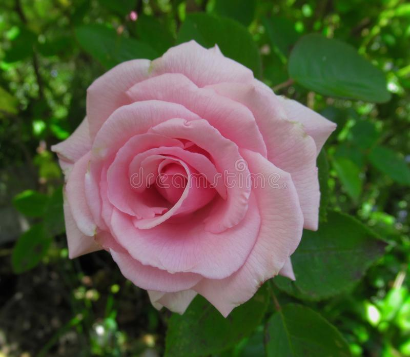 Pretty & Bright Pink Rose Flowers Blossom In Vancouver Park Garden In Spring 2019. Pretty & Bright Pink Rose Flowers Blossom In Vancouver Q.E. Park Garden In stock photos