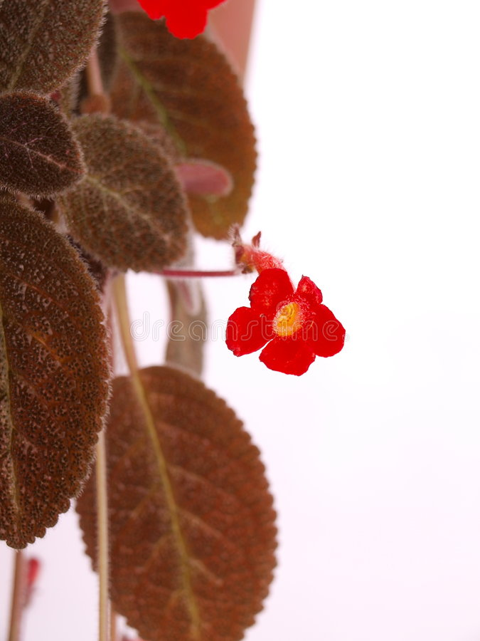 Download Pretty Bright Red Small Flower & Brown Hairy Leave Stock Image - Image of vines, view: 5578261