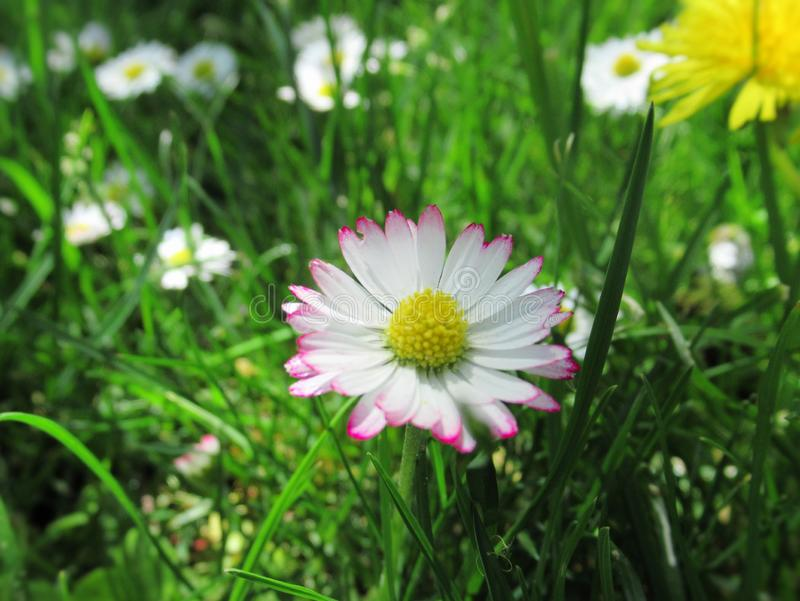 Pretty & Bright White/Pink  Common Daisy Blossom In Spring 2019. Pretty & Bright White/Pink Common Daisy Flowers Blossom In Vancouver Spring 2019 stock photography