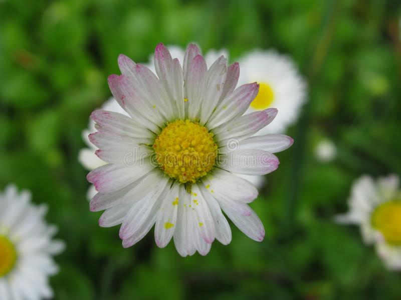 Pretty & Bright White/Pink  Common Daisy Blossom In Spring 2019. Pretty & Bright White/Pink Common Daisy Flowers Blossom In Vancouver Spring 2019 royalty free stock images