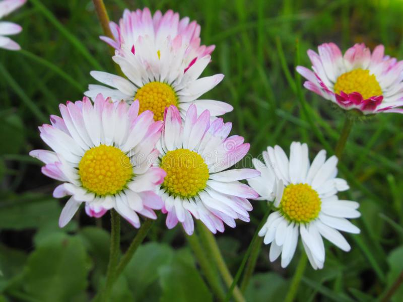Pretty & Bright White/Pink  Common Daisy Blossom In Spring 2019. Pretty & Bright White/Pink Common Daisy Flowers Blossom In Vancouver Spring 2019 royalty free stock photos