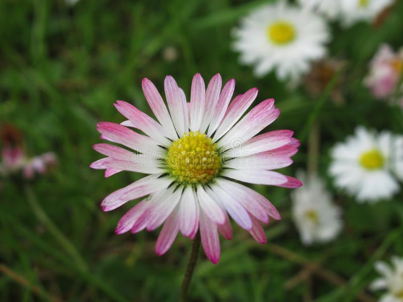 Pretty & Bright White/Pink  Common Daisy Blossom In Spring 2019. Pretty & Bright White/Pink Common Daisy Flowers Blossom In Vancouver Spring 2019 royalty free stock photography