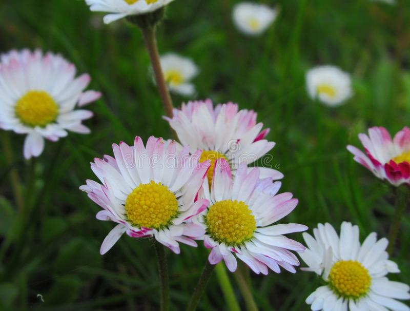 Pretty & Bright White/Pink  Common Daisy Blossom In Spring 2019. Pretty & Bright White/Pink Common Daisy Flowers Blossom In Vancouver Spring 2019 stock images