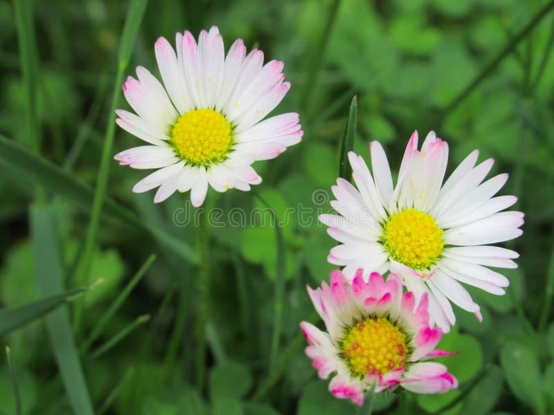 Pretty & Bright White/Pink  Common Daisy Blossom In Spring 2019. Pretty & Bright White/Pink Common Daisy Flowers Blossom In Vancouver Spring 2019 stock image