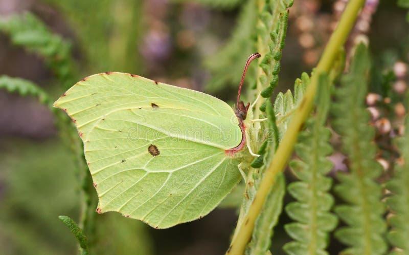 A pretty Brimstone Butterfly Gonepteryx rhamni perched on bracken. A Brimstone Butterfly Gonepteryx rhamni perched on bracken stock photography