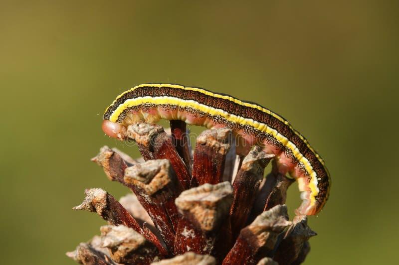 a pretty broom moth caterpillar ceramica pisi perched on a pine cone
