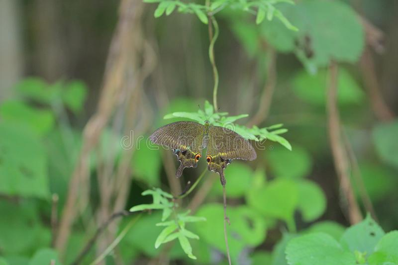 pretty brown and black striped longwing butterfly royalty free stock photo