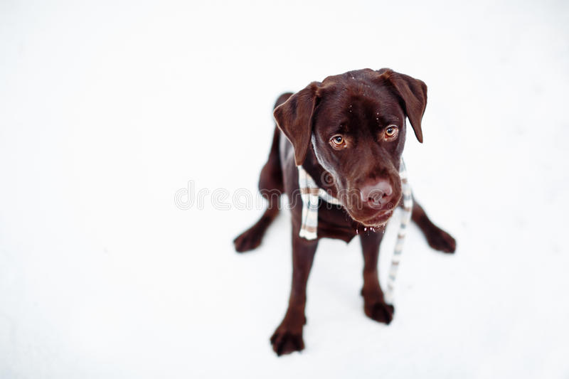 Pretty brown Labrador Retriever in winter forest stock images