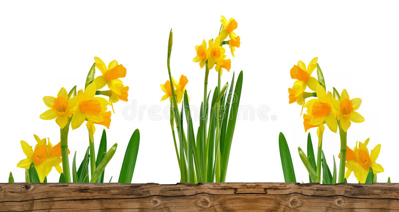 Pretty bunch of daffodils. Daffodils behind a wooden border isolated on white background stock photos