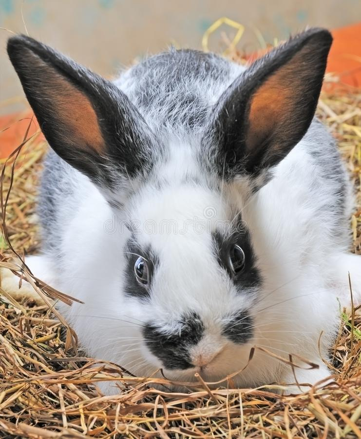 Download Pretty bunny stock image. Image of hear, vertebrate, rodent - 7857709