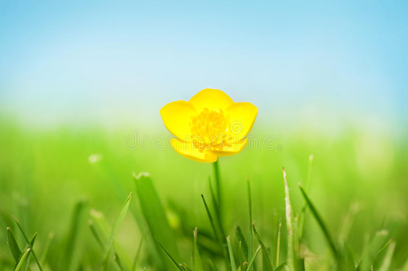 Pretty Buttercup royalty free stock image
