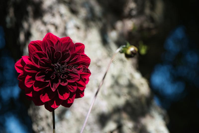 Pretty Carmine Dark Red Arabian Night Dahlia or Decorative Dahlia on a garden. Gentle movements under the summer breeze stock photography