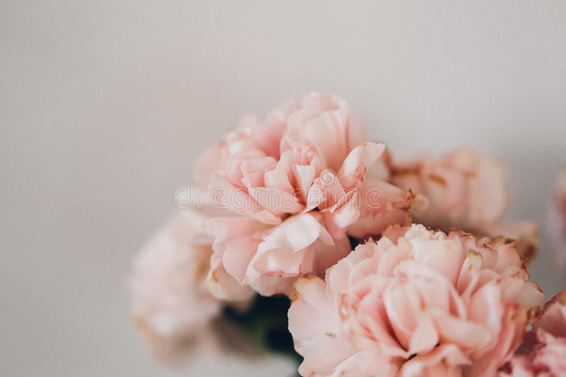 Pretty carnations that have seen their best days stock photography