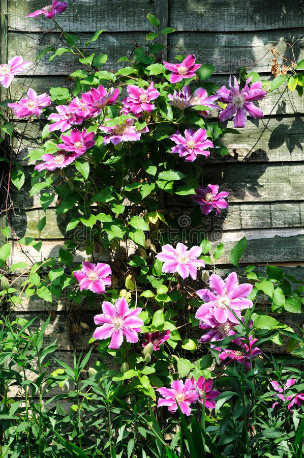 Free Pretty Clematis Growing Up A Wooden Fence. Stock Photography - 68896562