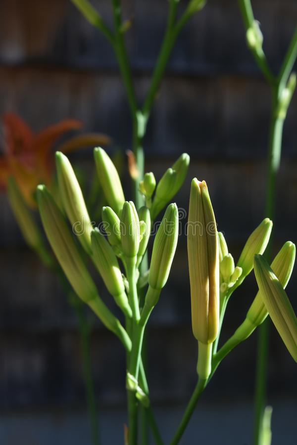 Pretty Close Up of Daylily Buds in the Spring stock image