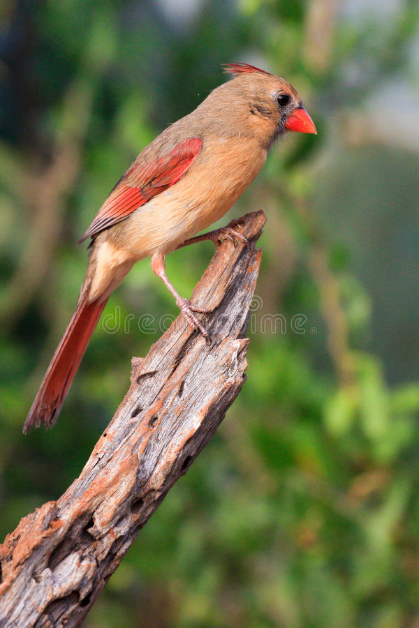 Pretty collared cardinal royalty free stock images