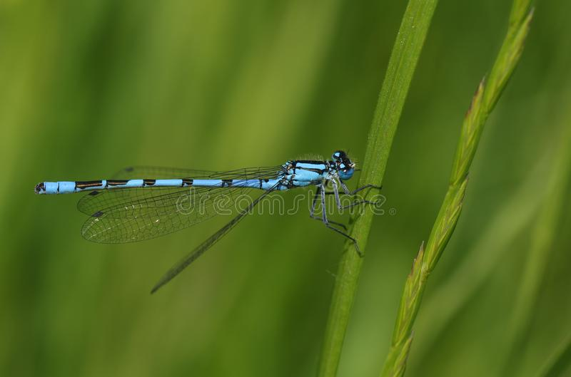 A pretty Common Blue Damselfly Enallagma cyathigerum perching on a blade of grass. royalty free stock photography