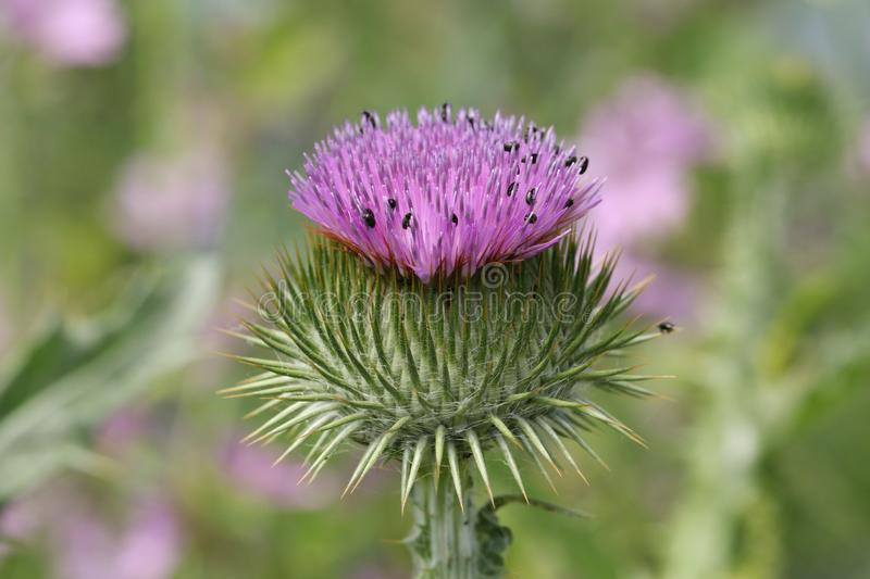 A beautiful Cotton or Scotch Thistle, Onopordon, Onopordon acanthium, flower growing in a field in the UK. stock photography