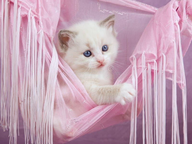 Pretty cute Ragdoll kitten in pink hammock royalty free stock image