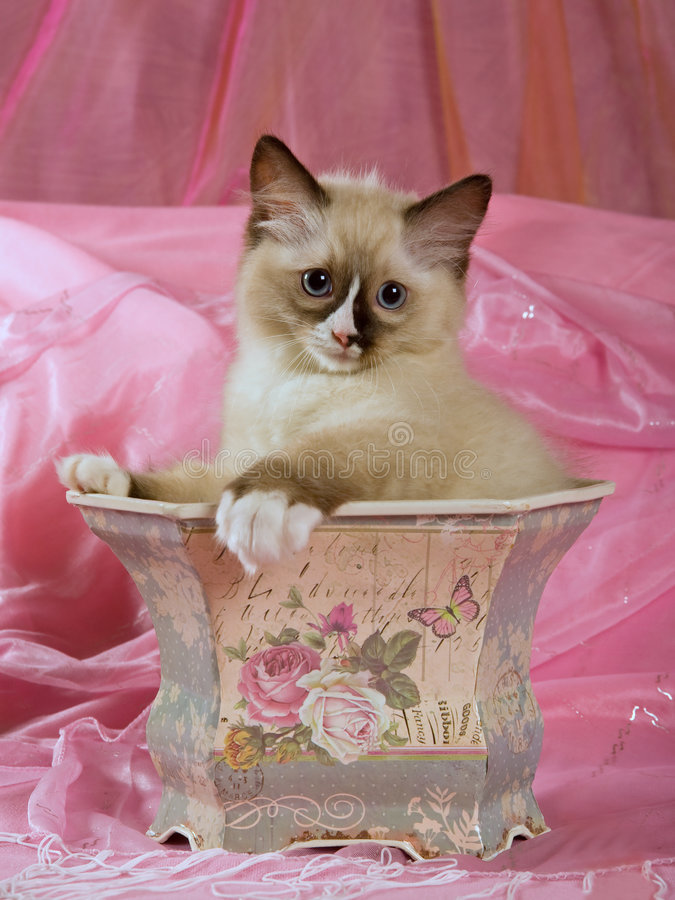 Pretty cute Ragdoll kitten in planter royalty free stock photos