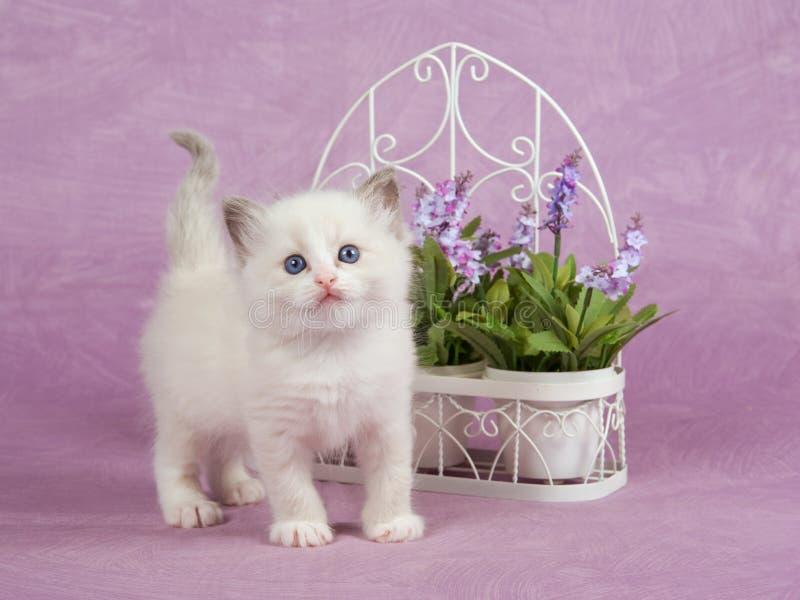 Pretty cute Ragdoll kitten with trellis flowers royalty free stock photos