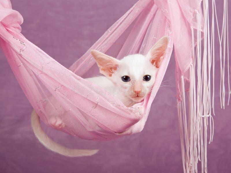 Pretty cute Siamese Oriental kitten pink hammock royalty free stock photo