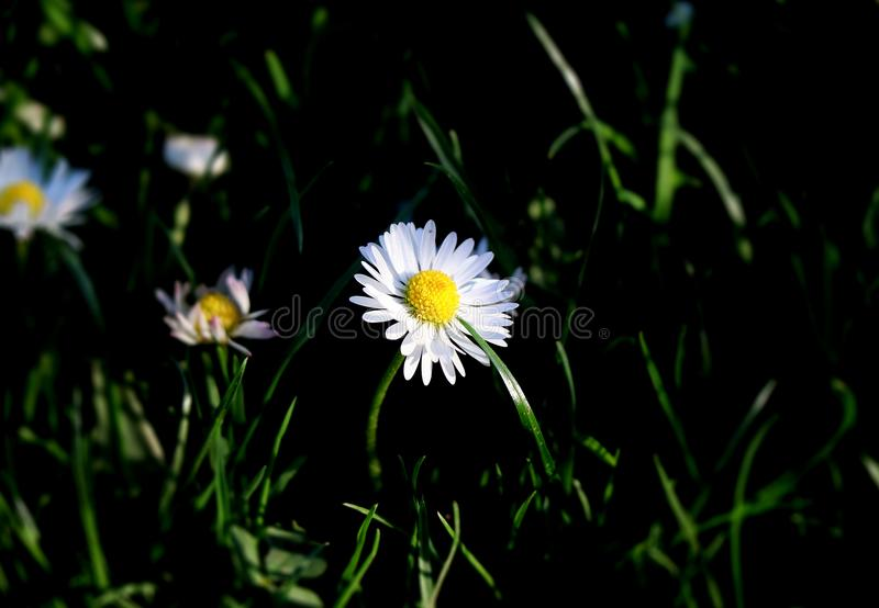 A pretty daisy in the middle of meadow or garden. Background is blurr and in black tones to enhance the flower. Summer flower royalty free stock photography