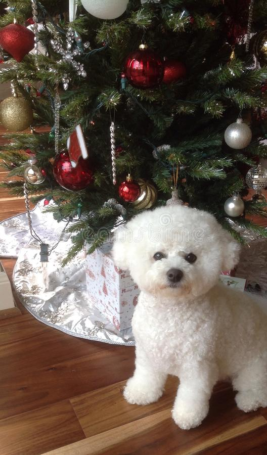Pretty dog by Christmas tree royalty free stock image