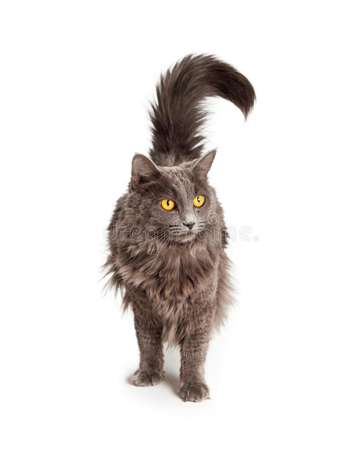 Pretty Domestic Longhair Gey Cat Standing. Pretty long hair domestic cat with yellow eyes standing on white background stock photo