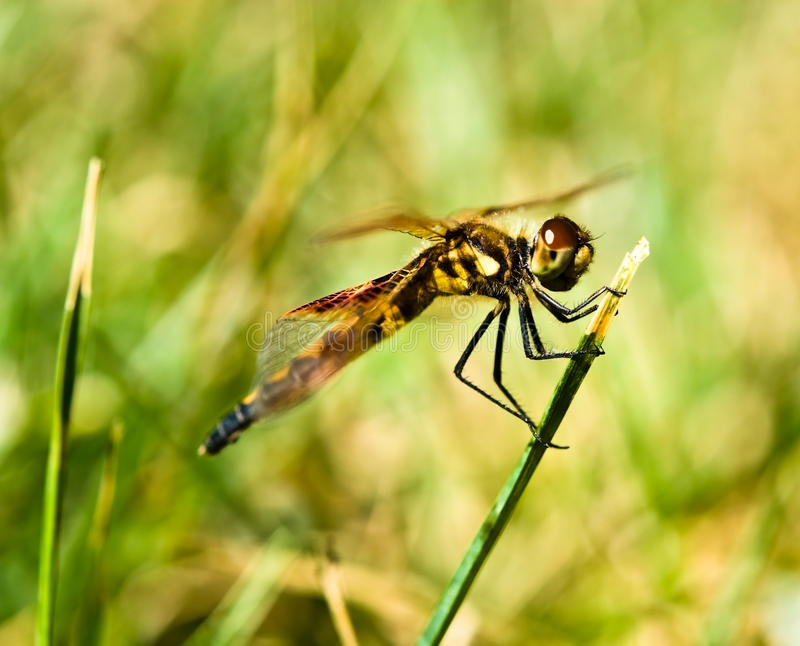 Download Pretty Dragonfly stock photo. Image of close, compound - 10019758