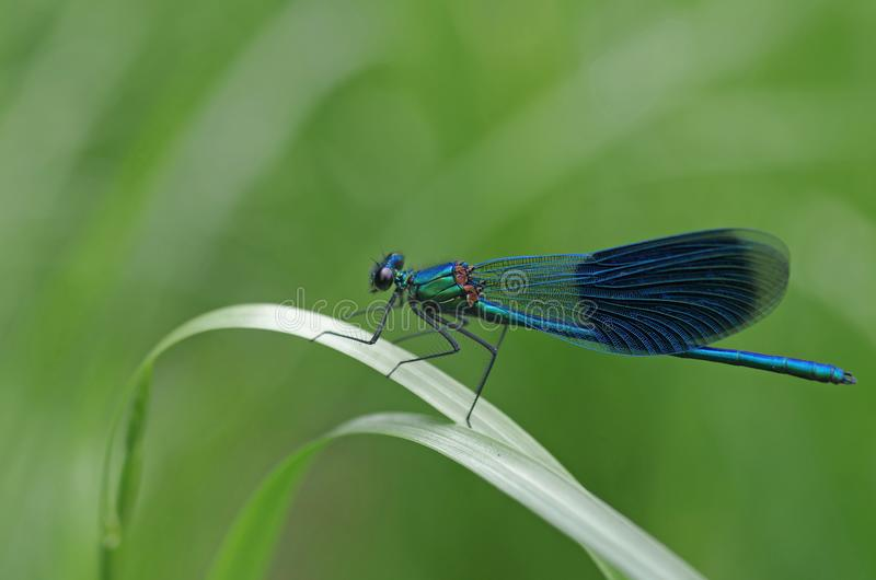 Pretty dragonfly sits in the green meadow stock image