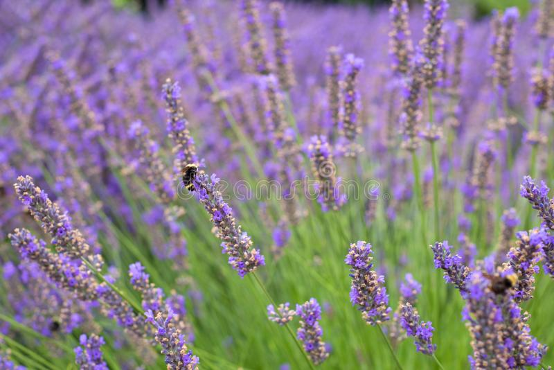 Pretty English Lavender Plants and Flowers Blowing in Wind in Corbett Oregon with Bumble Bees. Short focus with blurred backgroun royalty free stock image