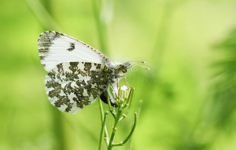 A pretty female Orange Tip Butterfly Anthocharis cardamines just about to lay an egg on a Garlic Mustard Flower. A female Orange Tip Butterfly Anthocharis royalty free stock photos