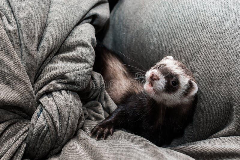 Pretty ferret portrait royalty free stock image