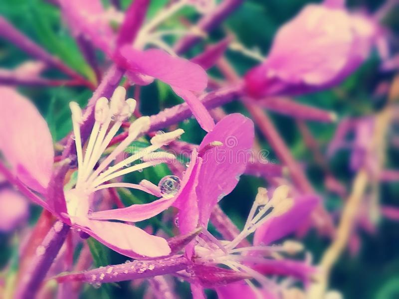 Pretty Flower With Raindrop royalty free stock photo