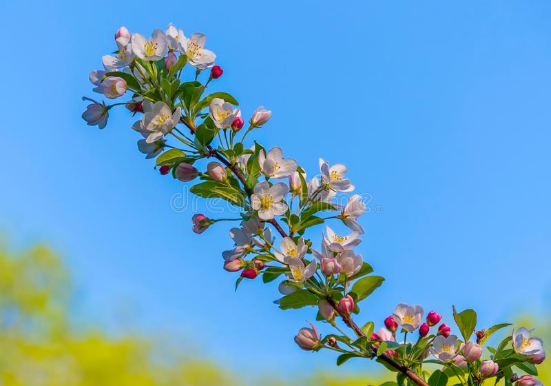 A pretty flowering cherry branch with small white blossomed petals and green leaves. stock photo