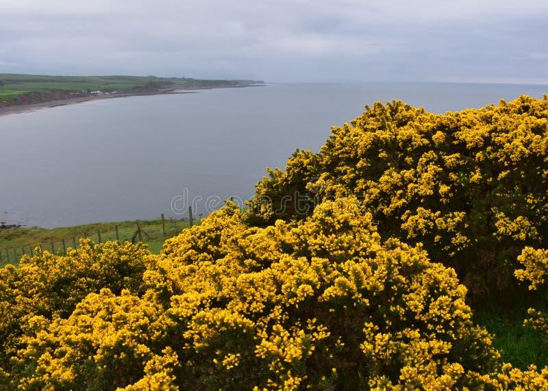 Pretty Flowering Gorse Bushes Above the Irish Sea. Flowering yellow gorse bushes blooming above the Irish Sea stock image