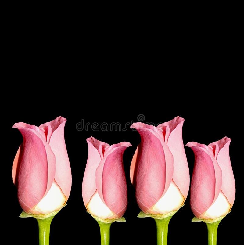 Pink roses on black background. Beautiful fresh roses. stock photo