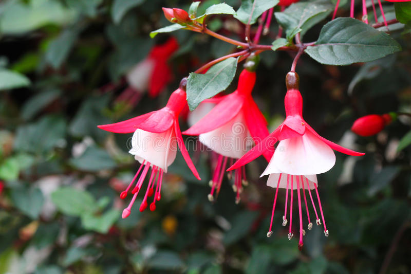 Download Pretty fuchsia flowers stock image. Image of petals, bloom - 32657577