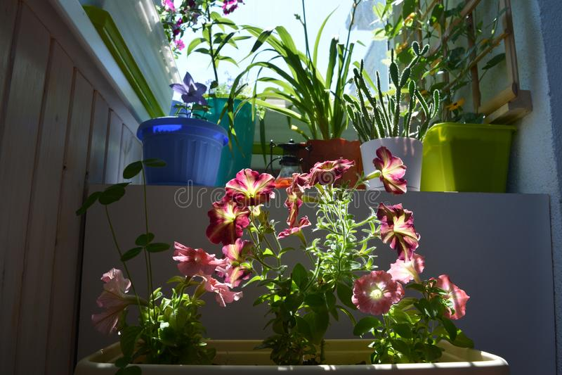 Pretty garden on the balcony. Bright colorful flowers of petunia in container and other plants in flowerpots. Cute design. Of greening home royalty free stock photography