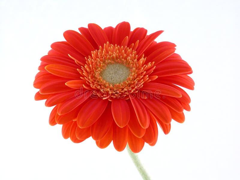 Download Pretty gerbera stock image. Image of close, petal, details - 462135
