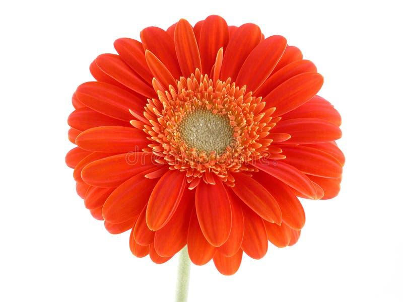 Download Pretty gerbera stock image. Image of petal, gerbera, gerber - 464087
