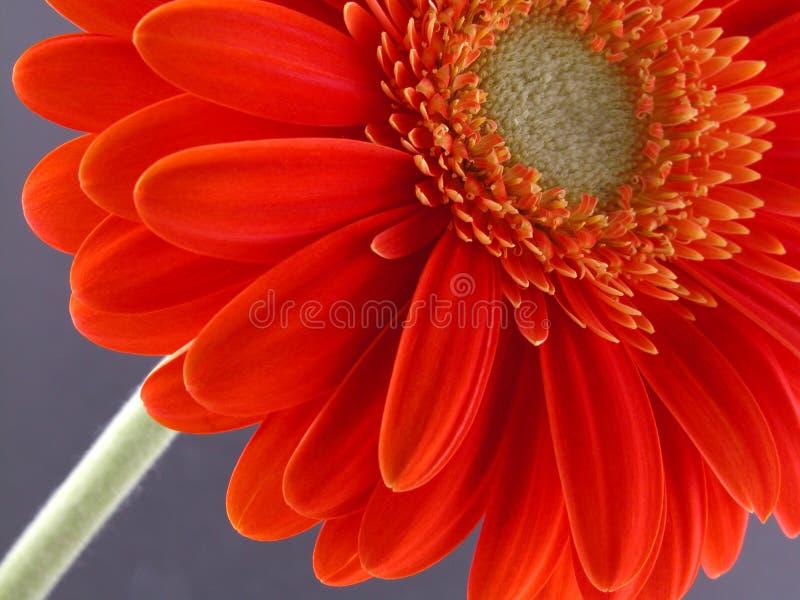 Download Pretty gerbera stock photo. Image of beauty, petal, gerbera - 468434