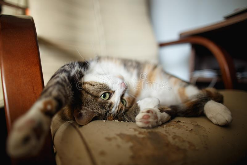Pretty ginger cat lies on a leather chair, which she scratched and torn. Furniture that is spoiled by animals. Playful ginger cat lies on a leather chair, which stock photos
