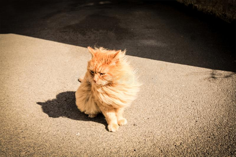 Pretty ginger persian cat outside a house stock images